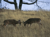 A Pair of White-Tailed Deer Bucks Butting Heads Photographic Print by Raymond Gehman