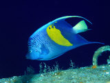 Arabian Angelfish (Pomacanthus Maculosus), Red Sea and Arabian Sea, Egypt Fotografisk tryk af Casey Mahaney