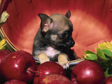 Chihuahua Puppy in Apple Basket Photographic Print by Lynn M. Stone