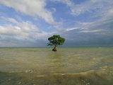 Skip Brown - Lone Mangrove Tree Standing in the Surf Fotografická reprodukce