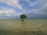 Lone Mangrove Tree Standing in the Surf Photographic Print by Skip Brown