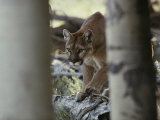 Mountain Lion Stalks Prey Photographic Print by Jim And Jamie Dutcher
