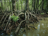 Detail of Mangrove Roots at the Waters Edge Photographic Print by Tim Laman