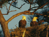 Pair of Bald Eagles Perch in Their Treetop Nest 写真プリント : クラウス・ニッゲ