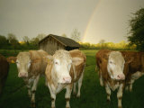 Portrait of a Group of Cows in a Lush Field Photographic Print by Peter Carsten