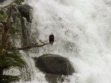 An American Bald Eagle Perched in a Tree Near a Rushing Waterfall Fotografiskt tryck av Ralph Lee Hopkins