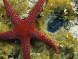 Brightly-Colored Starfish near a Small Imbedded Clam Photographic Print by Tim Laman