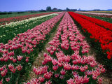 Field of Tulips, Leiden, Netherlands Photographic Print by John Elk III