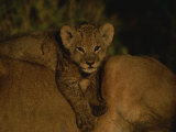 African Lion Cub Lies across his Mothers Back Photographic Print by Kim Wolhuter