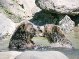 Bears Playing in Water Photographic Print by Chris Minerva