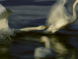 Whooper Swans Racing Across Water During Takeoff Photographic Print
