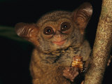 A Tiny Wide-Eyed Tarsier (Tarsius Spectrum) Relishes a Cockroach Snack Photographic Print by Tim Laman