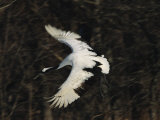 A Japanese or Red-Crowned Crane Coming in for a Landing Photographic Print by Tim Laman