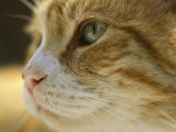 A Close View of the Profile of a Domestic Cat Photographie par Joel Sartore