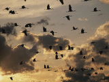 Sandhill Cranes are Silhouetted in Front of Evening Clouds Photographic Print by Stephen Alvarez