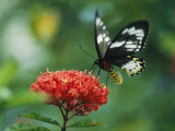 Butterfly on a Clustered Flower Sipping Nectar Photographic Print by Klaus Nigge