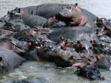 Group of Hippopotami (Hippopotamus Amphibius) in River, Masai Mara National Reserve, Kenya Photographic Print by David Tipling