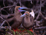 Nesting Pair of Red-Footed Boobies (Sula Sula) in Mangroves on Lighthouse Reef, Belize Photographic Print by Ralph Lee Hopkins