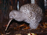 Little Spotted Kiwi (Apteryx Owenii) on the Forest Floor, New Zealand Photographic Print by Oliver Strewe