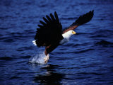 Fish Eagle (Haliaeetus Vocifer) Catching Fish in Lake, Lake Malawi National Park, Malawi Photographic Print by David Wall