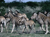 Group of Zebras, Etosha National Park, Namibia Photographic Print by Peter Ptschelinzew