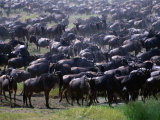 Migrating Wildebeest (Connochaetes Taurinus), Ngorongoro Conservation Area, Arusha, Tanzania Photographic Print by Mitch Reardon