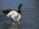 Drake Mallard (Anas Platyrhynchos), United Kingdom Photographic Print by David Tipling
