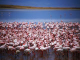 Flamingoes at Ngorongoro Crater., Ngorongoro Conservation Area, Arusha, Tanzania Photographic Print by Greg Elms