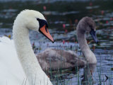 Mute Swan with Cygnet, Ireland Photographic Print by Gareth McCormack