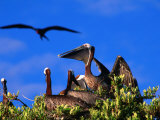 Brown Pelicans Nesting Amongst Red Mangrove, Cayos Cochinos, Islas De La Bahia, Honduras Photographic Print by Ralph Lee Hopkins