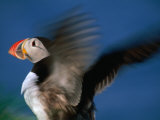 Puffin with Wings Flapping, Gossen, Nordland, Norway Photographic Print by Christian Aslund