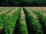 Tobacco Crop in Field in Wandiligong Valley Bright, Victoria, Australia Photographic Print by Barnett Ross