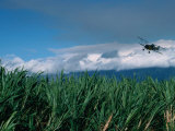 The Sugar Cane Crop, Kauai, Hawaii, USA Lámina fotográfica por Lawrence Worcester