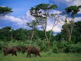 Two Bull Elephants (Loxodonta Africana), Hwange National Park, Zimbabwe Photographic Print by Ariadne Van Zandbergen