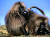 Gelada Baboons (Theropithecus Gelada) Grooming, Simien Mountains National Park, Ethiopia Photographic Print by Frances Linzee Gordon