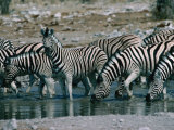 Zebras (Equus Zebra) Drinking in River, Etosha National Park, Namibia Photographic Print by Dennis Jones