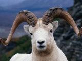 Dall Ram (Ovis Dalli), Alaska, USA Photographic Print by Mark Newman