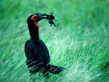 Ground Hornbill (F. Tockus) Eating Frog, Ngorongoro Conservation Area, Arusha, Tanzania Photographic Print by Mitch Reardon