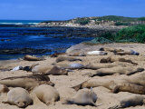Young Northern Elephant Seals, Ano Nuevo State Reserve, California, USA Photographic Print by Brent Winebrenner