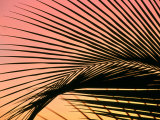 Coconut Leaf at Sunset, Kohala Coast, USA Photographic Print by Holger Leue