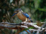Blue Winged Kookaburra (Decelo Leachii), Kakadu National Park, Australia Photographic Print by Mitch Reardon