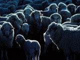 Flock of Sheep, Australia Fotografisk tryk af Peter Hendrie