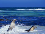Seals Swimming in Surf, Australia Photographic Print by Dennis Jones