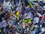 Colourful Wildflowers Covered with Frost, Nyalam, Tibet Photographic Print by Richard I'Anson