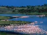 Lesser Flamingo (Phoeniconaias Minor) in Momella Lakes, Arusha National Park, Tanzania Photographic Print by Ariadne Van Zandbergen