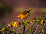 Yellow Warbler on a Thorny Branch, Galapagos, Ecuador Photographic Print by Ralph Lee Hopkins