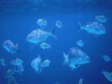 Tropical Fish, Caribbean Fotografisk tryk af Lauree Feldman