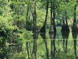 Cypress Trees Cross a Waterway in a Woodland Photographic Print by Medford Taylor