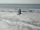 A Sanderling, with Wings Spread, is Frozen in Flight over the Foamy Atlantic Surf Photographic Print by Joseph H. Bailey