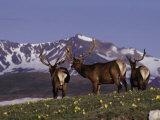 Elk Bulls in Velvet Above Timberlin Photographic Print by D. Robert Franz